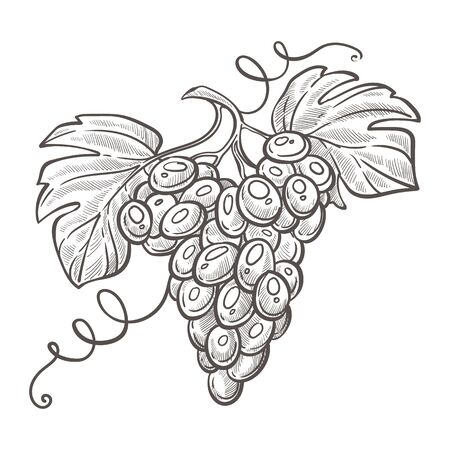 Grape bunch or berries cluster isolated sketch, winemaking