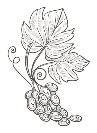 Grape bunch with leaves isolated sketch, berries cluster Ilustracja