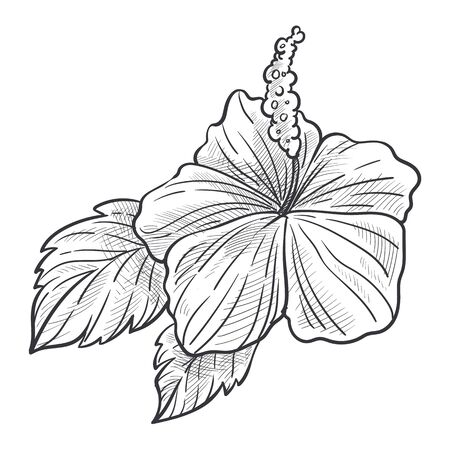 Hibiscus flower plant with leaves hand drawn sketch illustration Ilustracja