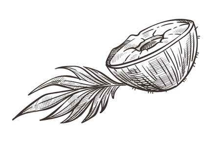 Coconut cut in half with leaf hand drawn sketch illustration