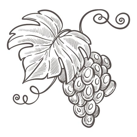 Grapes bunch isolated sketch drawing, berries cluster Ilustração