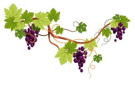 Grape bunches on vine, berries clusters, plantation harvest vector. Vineyard, wine ingredient, viticulture and agriculture decor, winery fruit crop. Organic product, farm plant growing, winemaking
