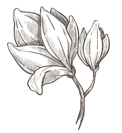 Flowers blossom, magnolia plant isolated sketch drawing