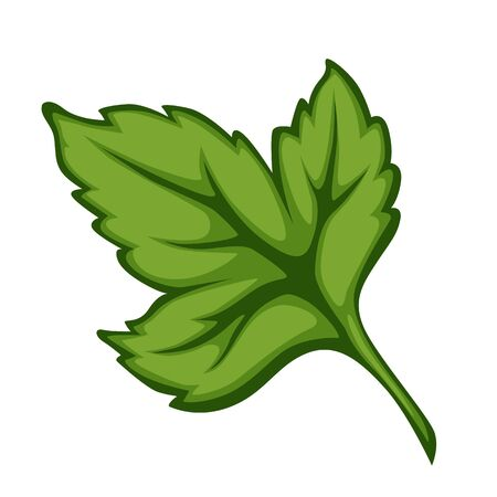 Parsley or cilantro herb leaf for cooking meals Vetores