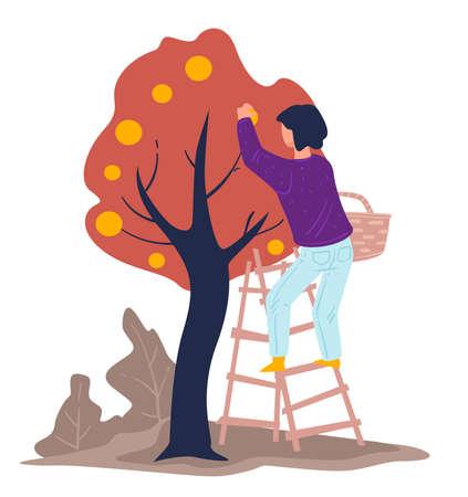 Harvesting season, woman gathering apples from tree in garden Ilustrace