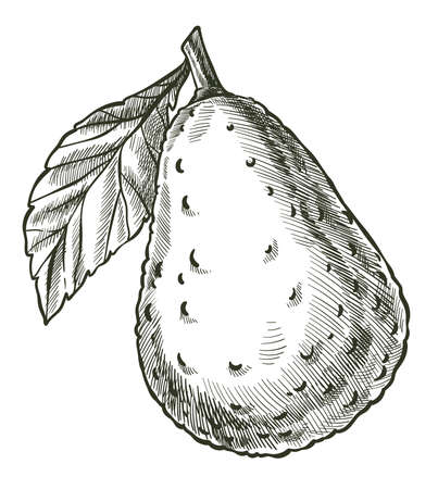 Avocado ripe vegetable with leaf monochrome sketch Illusztráció