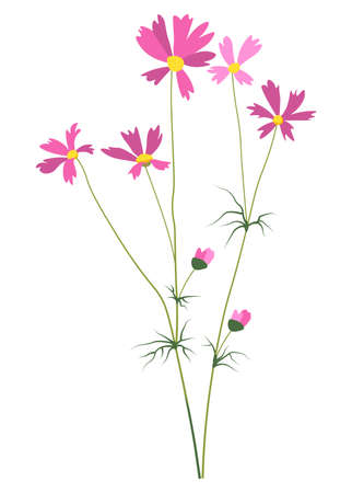 Daisy flower in blossom, Bergenia or Cosmos vector