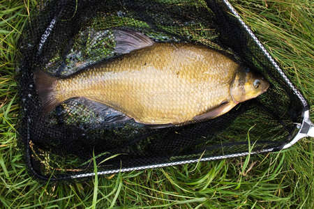 Catched gold bream in the landing-net