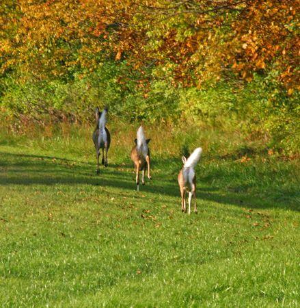 white tail: 3 cervo coda bianca in esecuzione