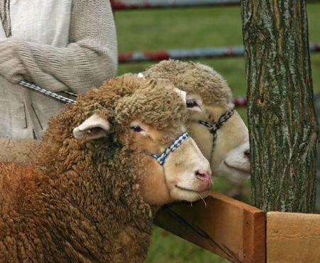 Two Sheep Stock Photo - 708813