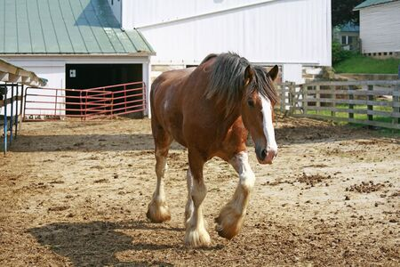 clydesdale: Clydesdale  Stock Photo