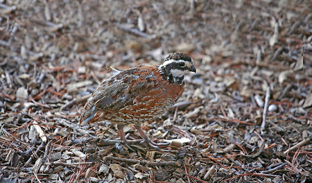 phasianidae: Northern Bobwhite Quail Stock Photo