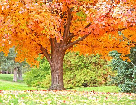 Orange Fall Tree Zdjęcie Seryjne