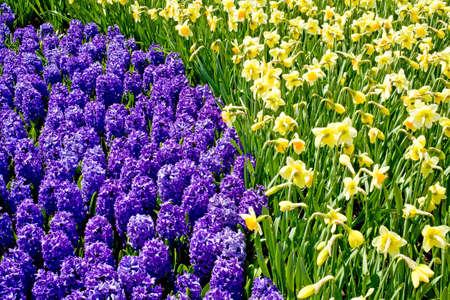 hyacinths: Hyacinths and Daffodils Together Stock Photo