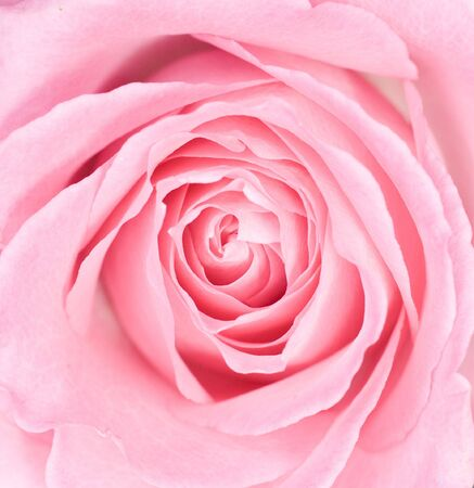 blossoming: Macro of a Pink Rose