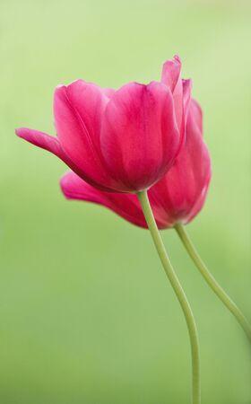 Two Tulips photo