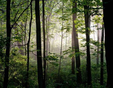 Early Morning Light in the Forest photo