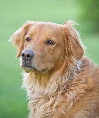 Golden Retriever Stock Photo - 3255375