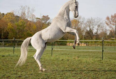 rearing: Thoroughbred Horse