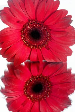 sweetest: Macro of Red Daisy and Its Reflection