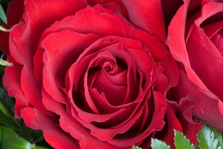 Macro of Red Roses
