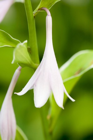 hostas: Hosta Flower