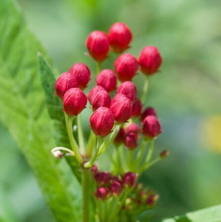 Blood Flower Stock Photo - 4202190
