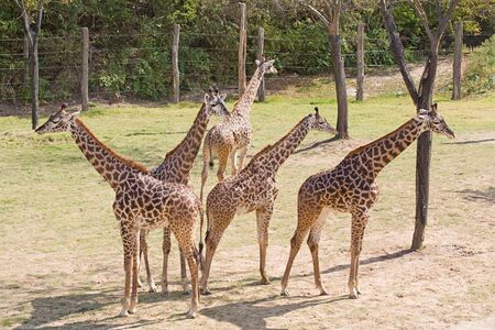 Young Giraffes on the Lookout Stock Photo - 4385496