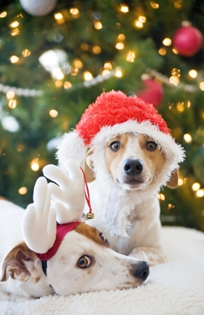 headwear: Two Jack Russell Terriers at Christmas Stock Photo