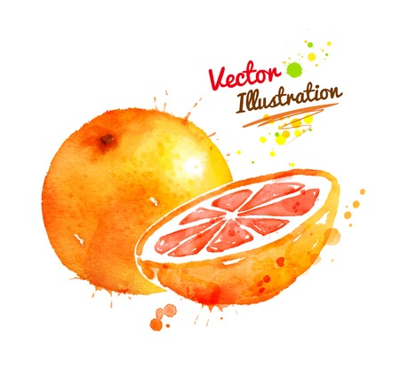 exotic fruits: Vector watercolor hand drawn illustration of grapefruit. Illustration