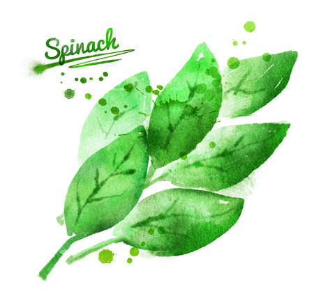 spinach: Hand drawn watercolor illustrations of spinach with paint splashes. Stock Photo