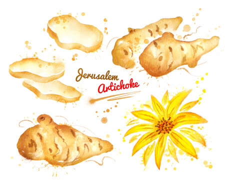 Watercolor illustration of jerusalem artichoke