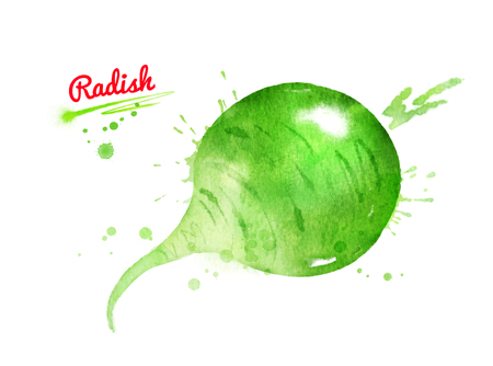 Watercolor illustration of green radish
