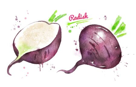 Watercolor illustration of black radish