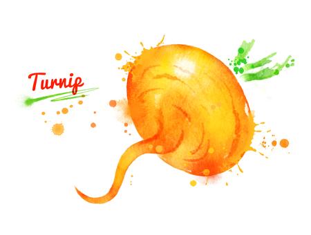 Watercolor illustration of turnip