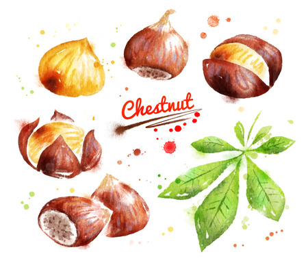 Watercolor illustration of chestnut Imagens