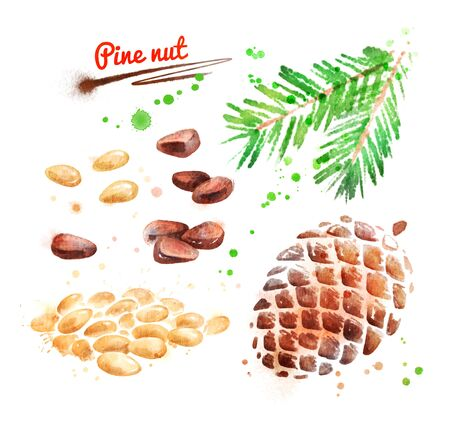 Watercolor illustration of pine nut Stock Photo