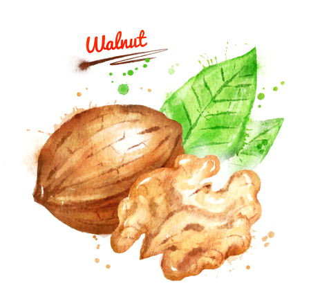 Watercolor illustration of walnut