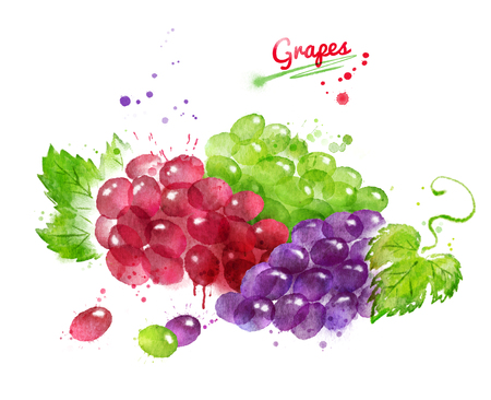 Watercolor illustration of bunches of grapes Stock Photo