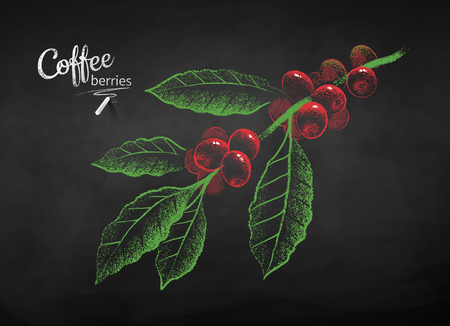 Vector chalk drawn sketch of coffee branch with berries and leaves on chalkboard background.