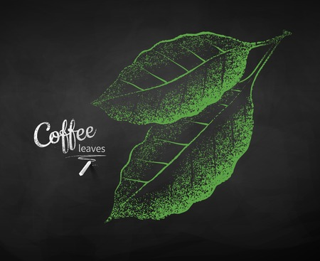 Vector chalk drawn sketch of coffee leaves on chalkboard background.