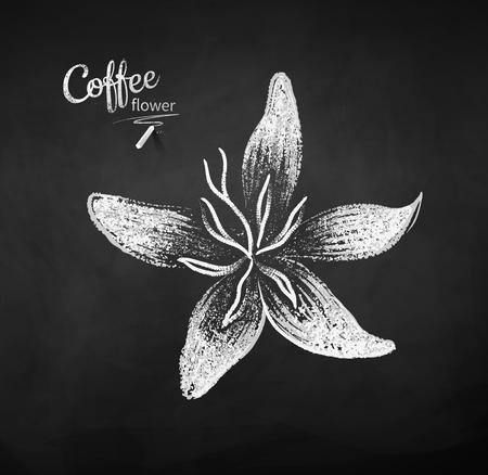 Vector chalk drawn sketch of coffee flower on chalkboard background. Illustration