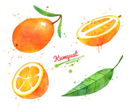 Watercolor hand drawn illustration of Kumquat fruit Imagens