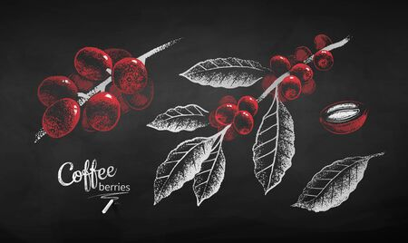 Vector chalk drawn illustration set of coffee branch with berries and leaves in black and white and red color on chalkboard background. Çizim