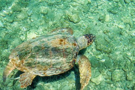 reeffish: Loggerhead Sea Turtle-or Caretta caretta, swimming along the city and a depth of sixty feet off Deerfield Beach Florida.