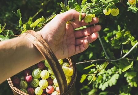 birchbark: Mans hand picking and putting ripe gooseberies to birchbark basket full of berries in garden on sunny summer day, selective focus, horizontal composition
