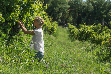 Jeune femme blonde accroupie et cueillette des raisins récolte au vignoble sur une journée ensoleillée, Badasconytomaj, lac Balaton, Hongrie Banque d'images