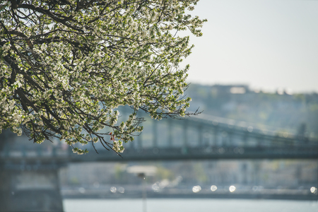 Blooming tree at Danube Pest embankment in Budapest, Danube river and bridge at background on sunny spring day