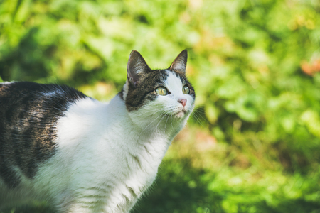 White and grey cat in garden, looking aside. Natural green leaves and grass background, selective focus