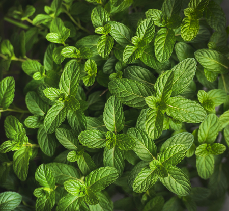 Fresh green pepper mint leaves texture, background and wallpaper